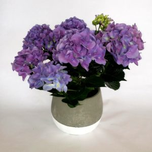 Hydrangea-Potted