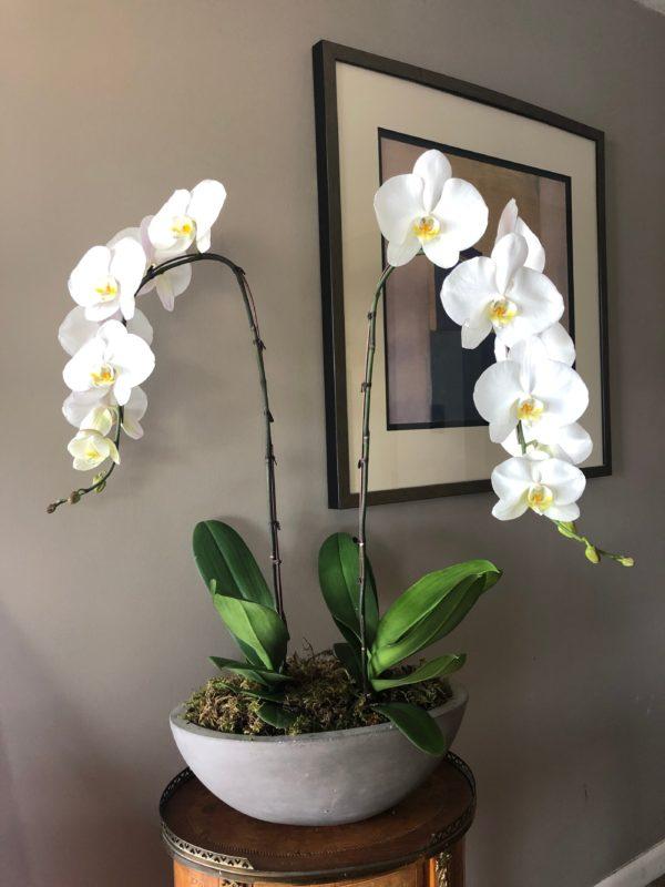PhalaenopsisLive