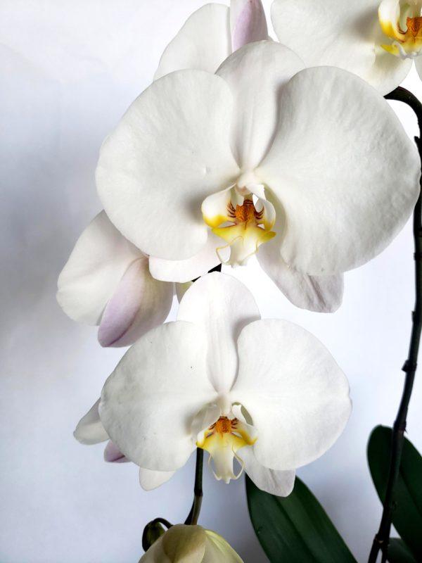 PhalaenopsisOrchid