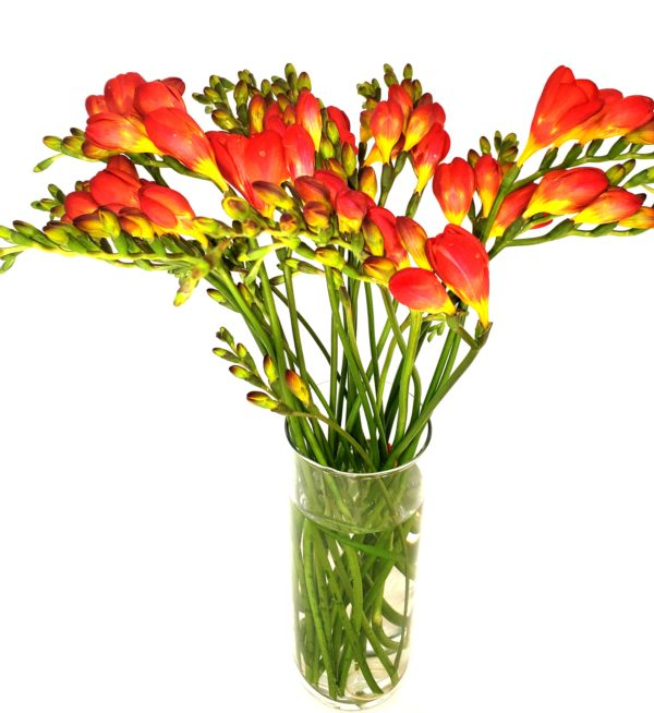 red-Freesia